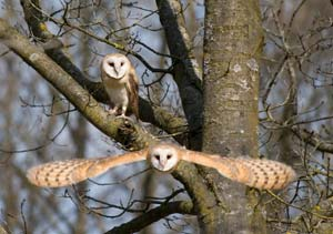 Two owls flying